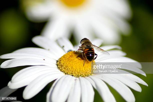 close-up of bee on daisy - barulho stock pictures, royalty-free photos & images