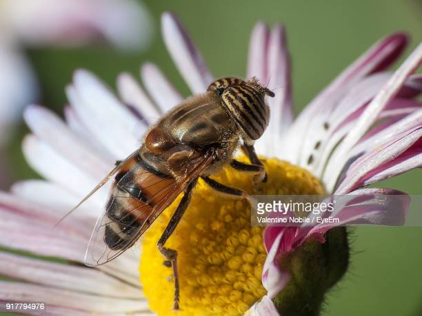 close-up of bee on flower - massa stock pictures, royalty-free photos & images