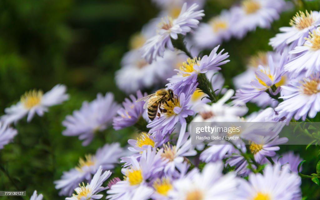 Close-Up Of Bee On Flowers : Photo