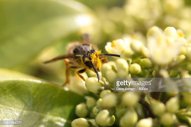 close-up of bee on flower,united kingdom,uk - dave ashwin stock pictures, royalty-free photos & images