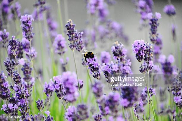 close-up of bee on lavender flowers - coventry stock pictures, royalty-free photos & images