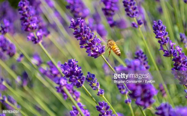 Close-Up Of Bee On Lavender Flowers