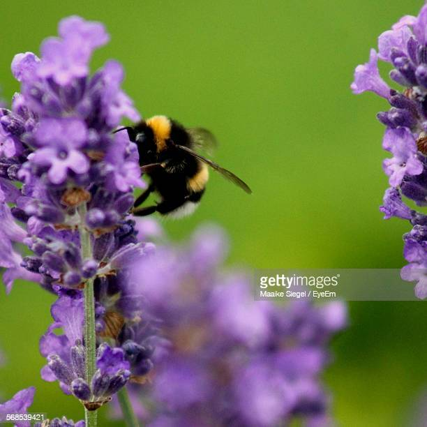 Close-Up Of Bee On Lavenders Blooming Outdoors