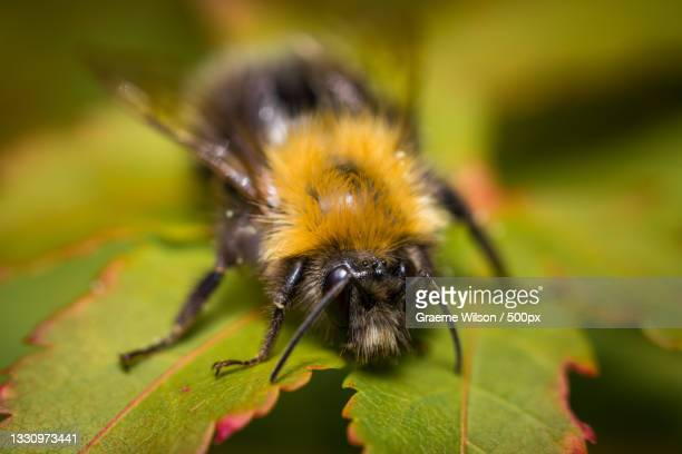 close-up of bee on leaf,newcastle upon tyne,united kingdom,uk - newcastle united pictures stock pictures, royalty-free photos & images