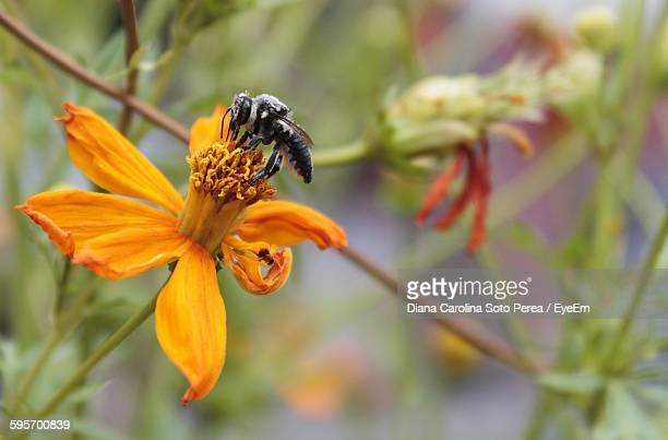 Close-Up Of Bee On Orange Cosmos Flower