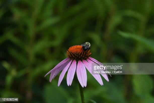 close-up of bee on purple flower - one animal stock pictures, royalty-free photos & images