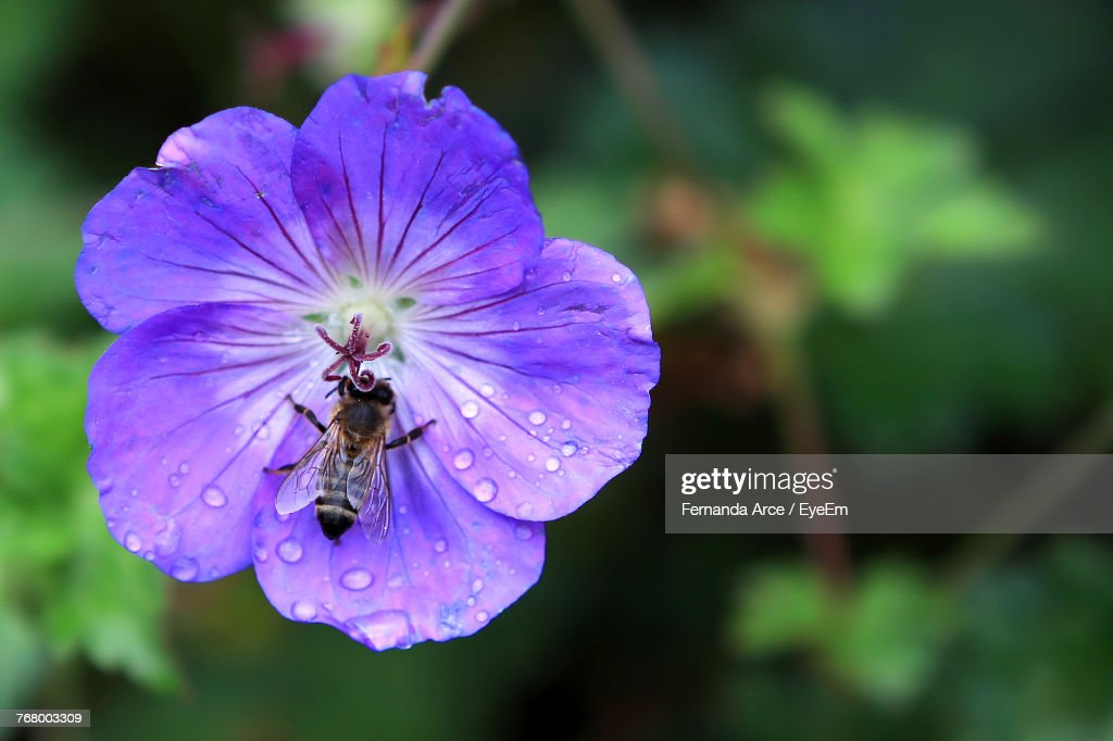 Close-Up Of Bee On Purple Flower : Stock Photo