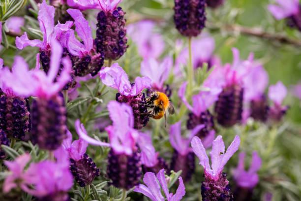 Close-up of bee on purple flowers,Italia,Italy