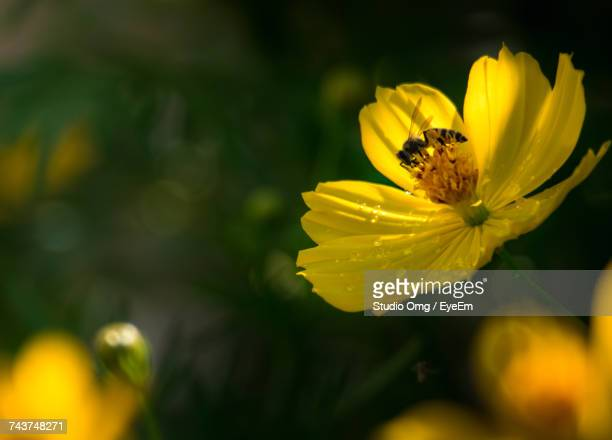 Close-Up Of Bee On Wet Yellow Cosmos Flower Outdoors