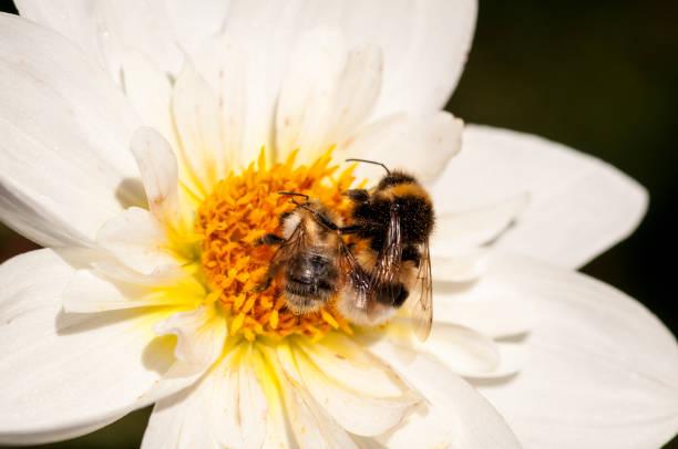 Close-up of bee on white flower,Herberstein,Austria