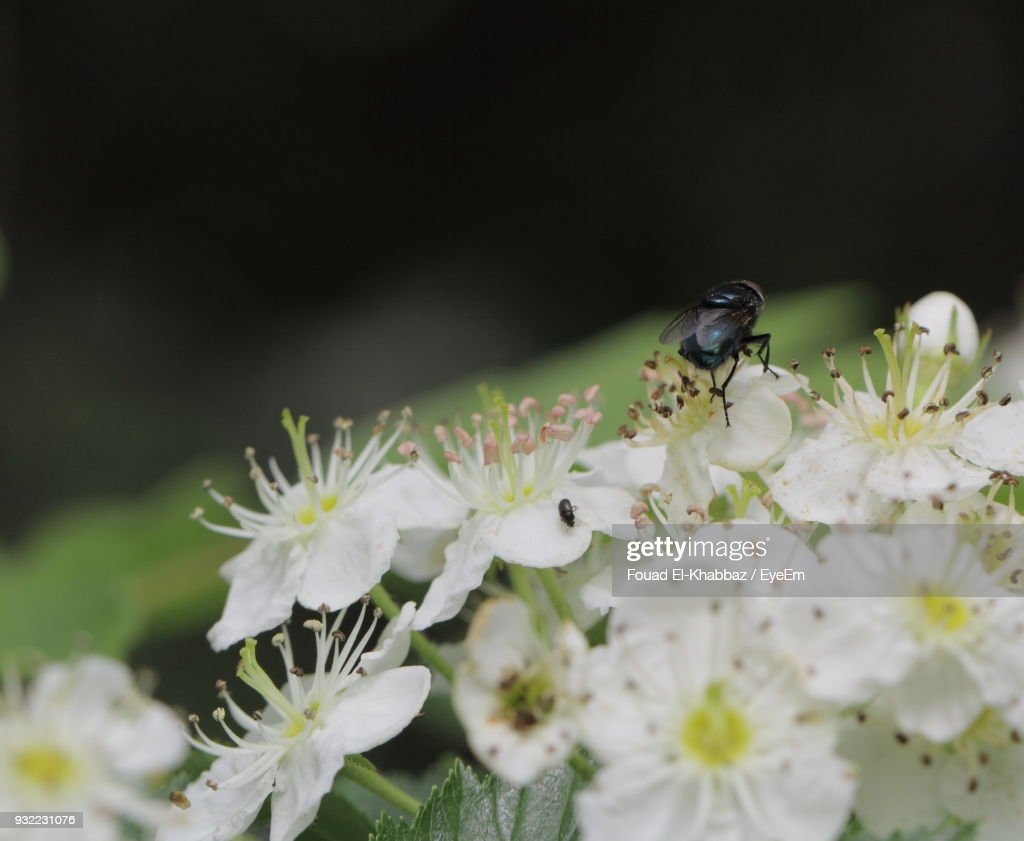 Close-Up Of Bee On White Flowers : Stock Photo