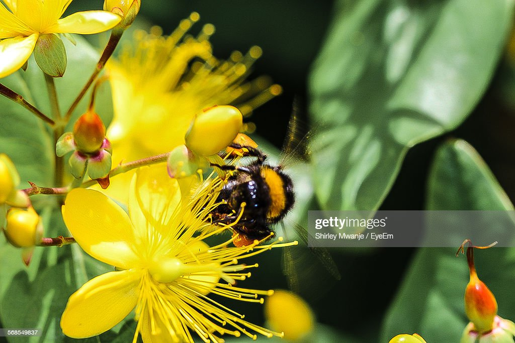 Close-Up Of Bee On Yellow Flower At Field : Stock Photo