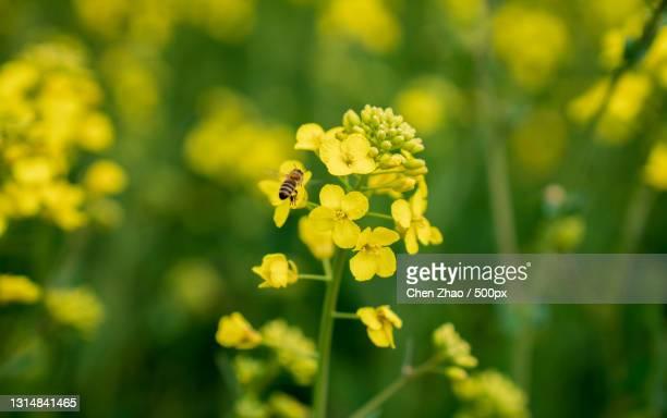 close-up of bee on yellow flower - kruisbloemenfamilie stockfoto's en -beelden