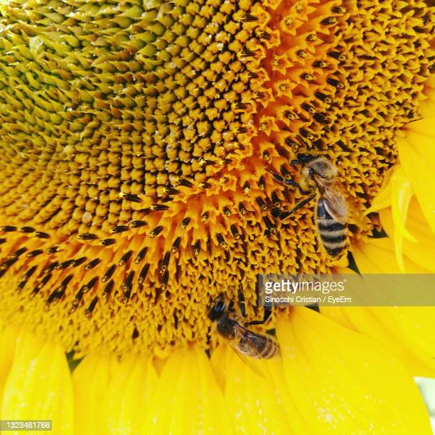 close-up of bee on yellow flower - botoșani romania stock pictures, royalty-free photos & images