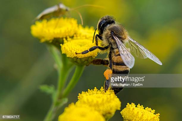 Close-Up Of Bee On Yellow Flowers