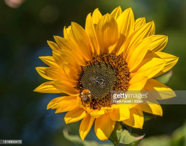 close-up of bee on yellow flower,truro,united kingdom,uk - truro cornwall stock pictures, royalty-free photos & images
