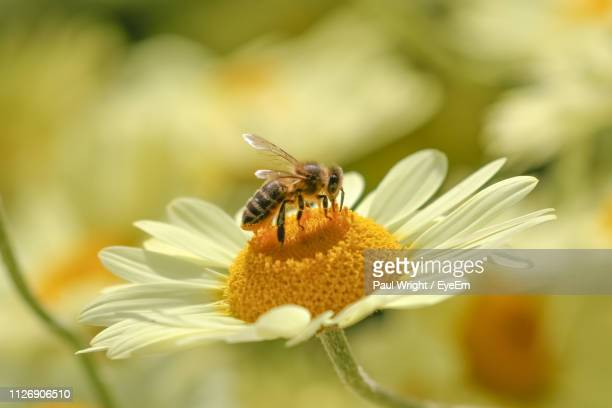 close-up of bee perching on white flower - pollination stock pictures, royalty-free photos & images