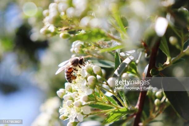 close-up of bee pollinating flowers - melike stock pictures, royalty-free photos & images