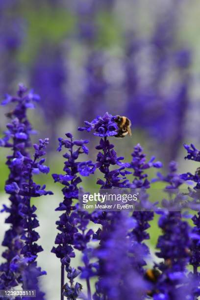 close-up of bee pollinating on a lavender plant - bumblebee stock pictures, royalty-free photos & images