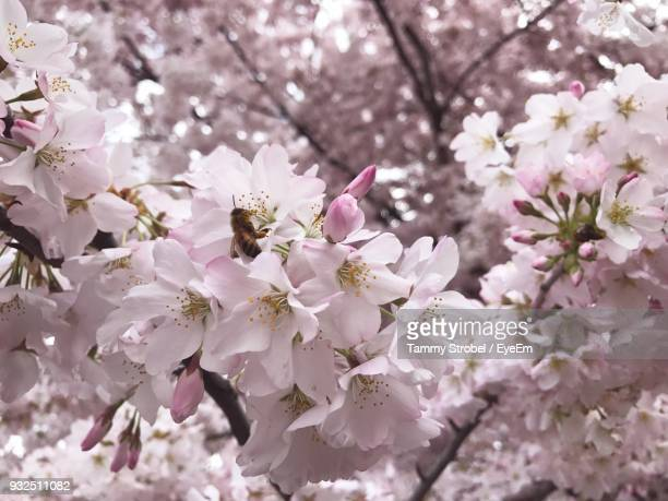 Close-Up Of Bee Pollinating On Cherry Blossoms