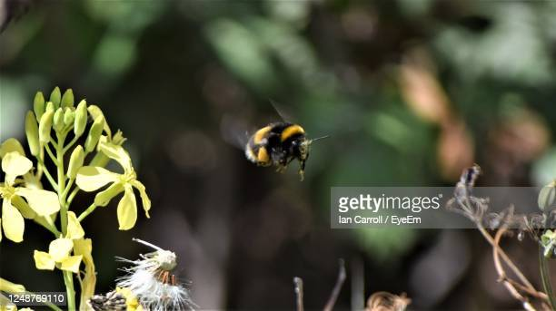close-up of bee pollinating on flower - bumblebee stock pictures, royalty-free photos & images