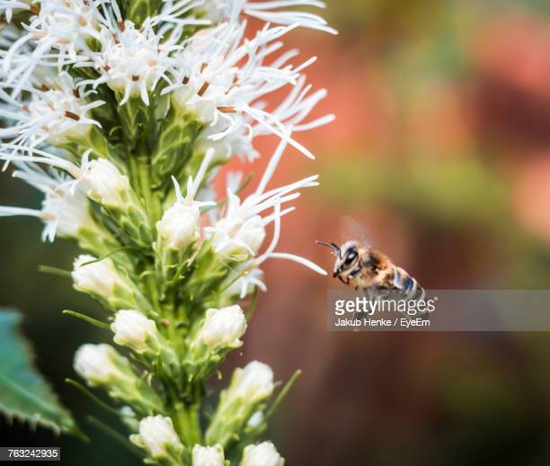 close-up of bee pollinating on flower - pomorskie province stock photos and pictures