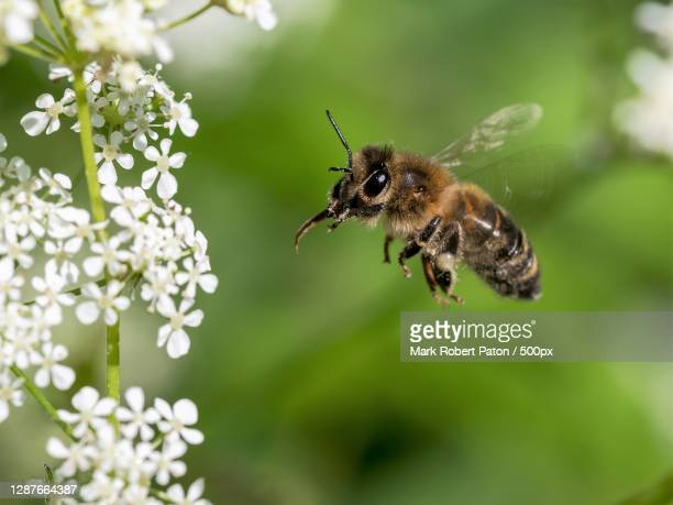 close-up of bee pollinating on flower,oakengates,telford,united kingdom,uk - honey bee stock pictures, royalty-free photos & images
