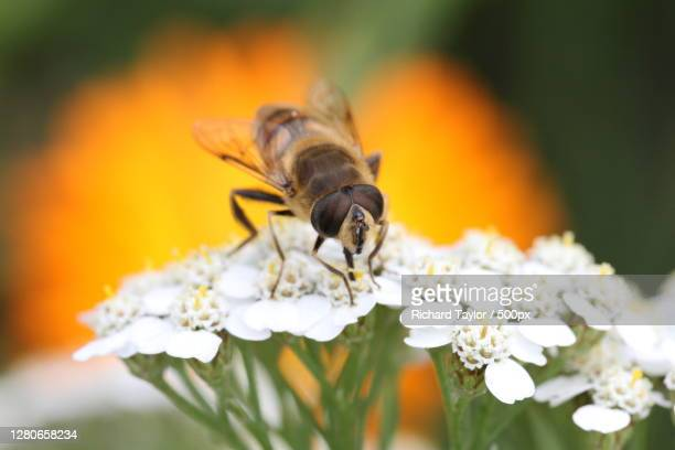 close-up of bee pollinating on flower,wales,united kingdom,uk - honey bee stock pictures, royalty-free photos & images