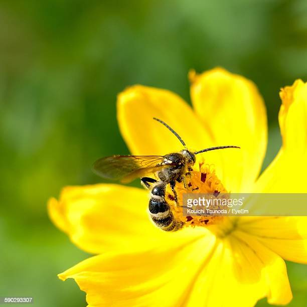 Close-Up Of Bee Pollinating On Fresh Yellow Cosmos Flower Blooming In Garden