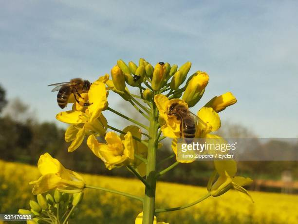 Close-Up Of Bee Pollinating On Fresh Yellow Flower