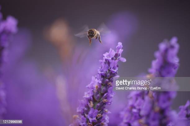 close-up of bee pollinating on lavender - honey bee stock pictures, royalty-free photos & images