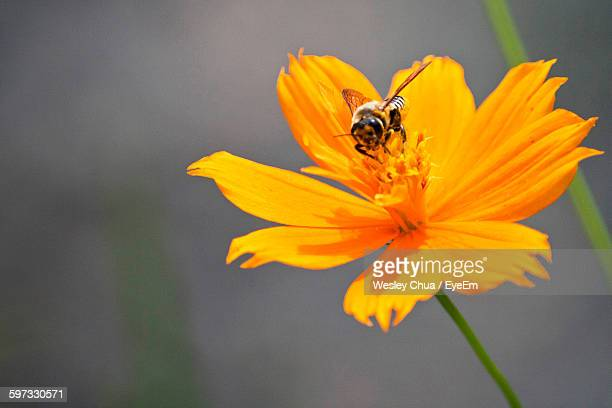 Close-Up Of Bee Pollinating On Orange Cosmos Flower
