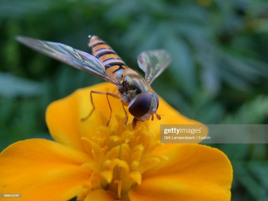 Close-Up Of Bee Pollinating On Orange Flower At Park : Stock Photo