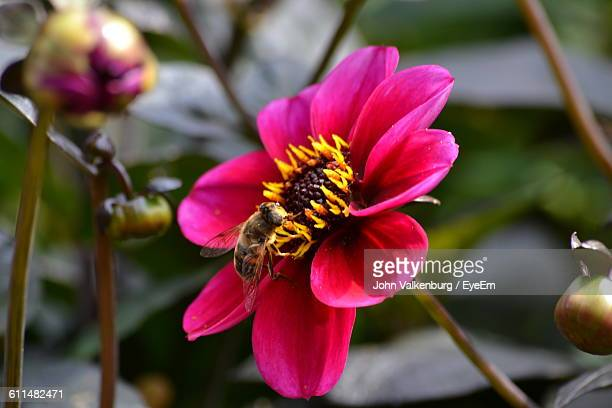 Close-Up Of Bee Pollinating On Pink Anemone Flower Blooming Outdoors