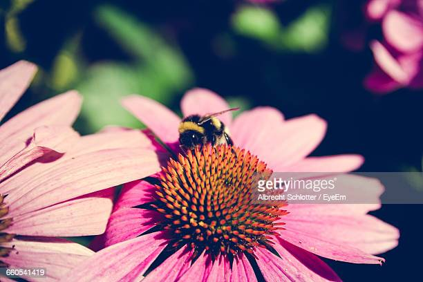 close-up of bee pollinating on pink flower - albrecht schlotter stock pictures, royalty-free photos & images