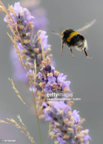 close-up of bee pollinating on purple flower lavender - bumblebee stock pictures, royalty-free photos & images