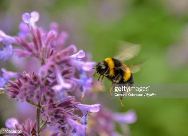 close-up of bee pollinating on purple flower - flower stock pictures, royalty-free photos & images