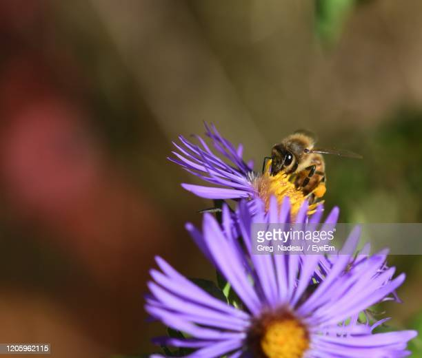 close-up of bee pollinating on purple flower - greg nadeau stock pictures, royalty-free photos & images