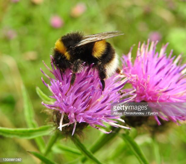 close-up of bee pollinating on purple flower - bumblebee stock pictures, royalty-free photos & images