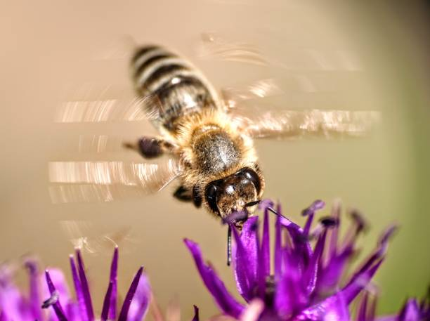 Close-up of bee pollinating on purple flower,Gliwice,Poland