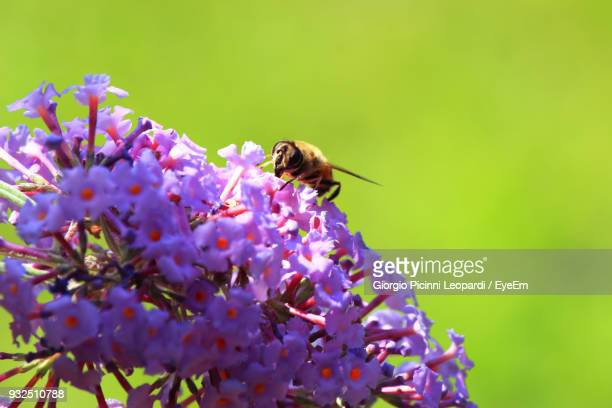 Close-Up Of Bee Pollinating On Purple Flowers