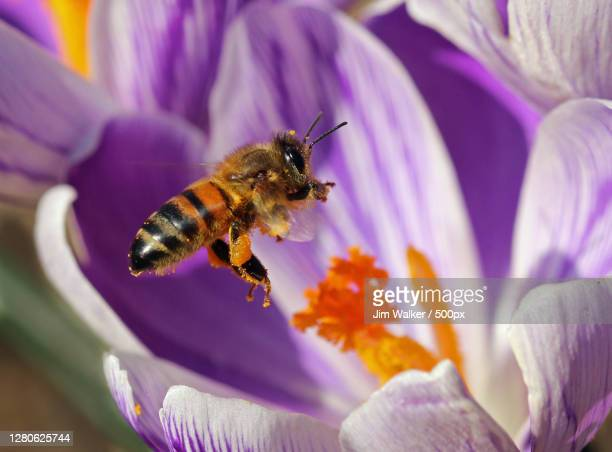 close-up of bee pollinating on purple flower,snettisham,united kingdom,uk - honey bee stock pictures, royalty-free photos & images