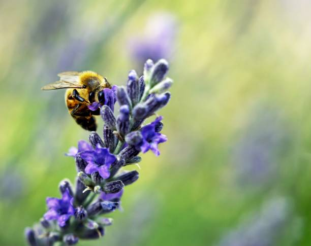 Close-up of bee pollinating on purple flower,Sunnyvale,California,United States,USA