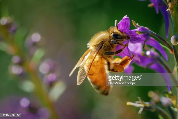 close-up of bee pollinating on purple flower,timaru,new zealand - new zealand stock pictures, royalty-free photos & images