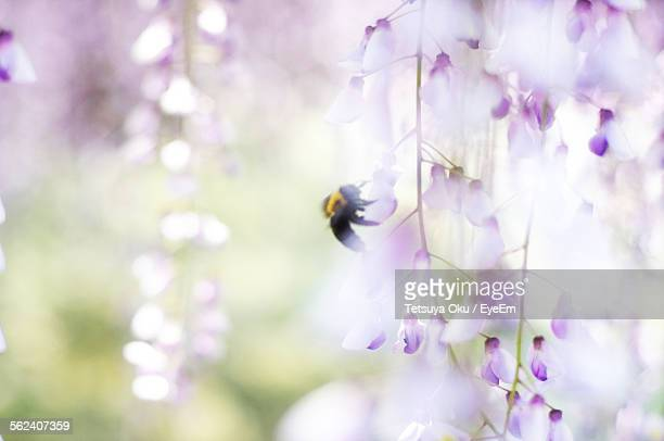 Close-Up Of Bee Pollinating On Purple Wisteria