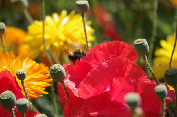 Close-Up Of Bee Pollinating On Red Flower Poppy