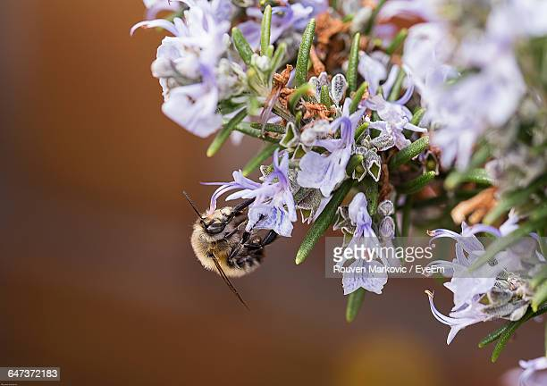 Close-Up Of Bee Pollinating On Rosemary Flowers
