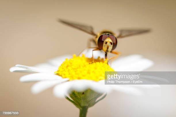 Close-Up Of Bee Pollinating On White Daisy