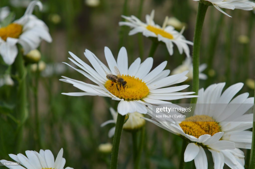 Close-Up Of Bee Pollinating On White Flower : Photo