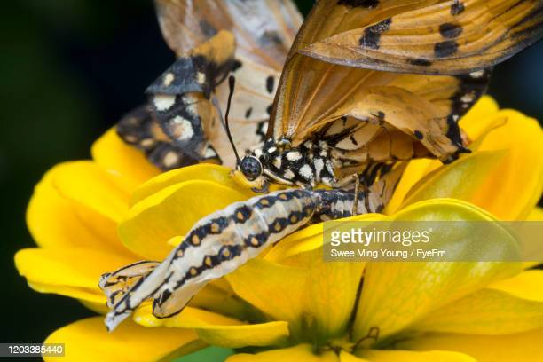close-up of bee pollinating on yellow flower - lions mane jellyfish stock pictures, royalty-free photos & images